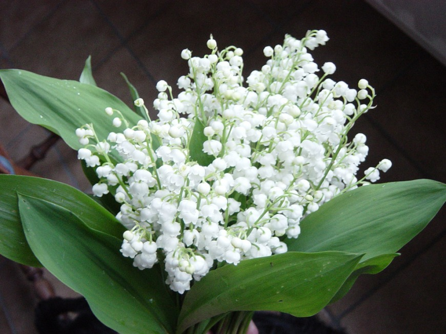 muguet lilies of the valley french tradition may 1 may day 1er mai fete du travail et des travailleurs